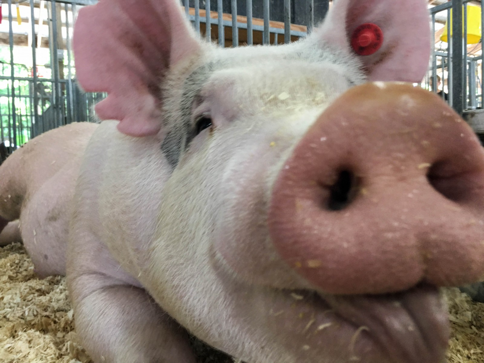 Researchers swab pig snouts to test for the flu virus.