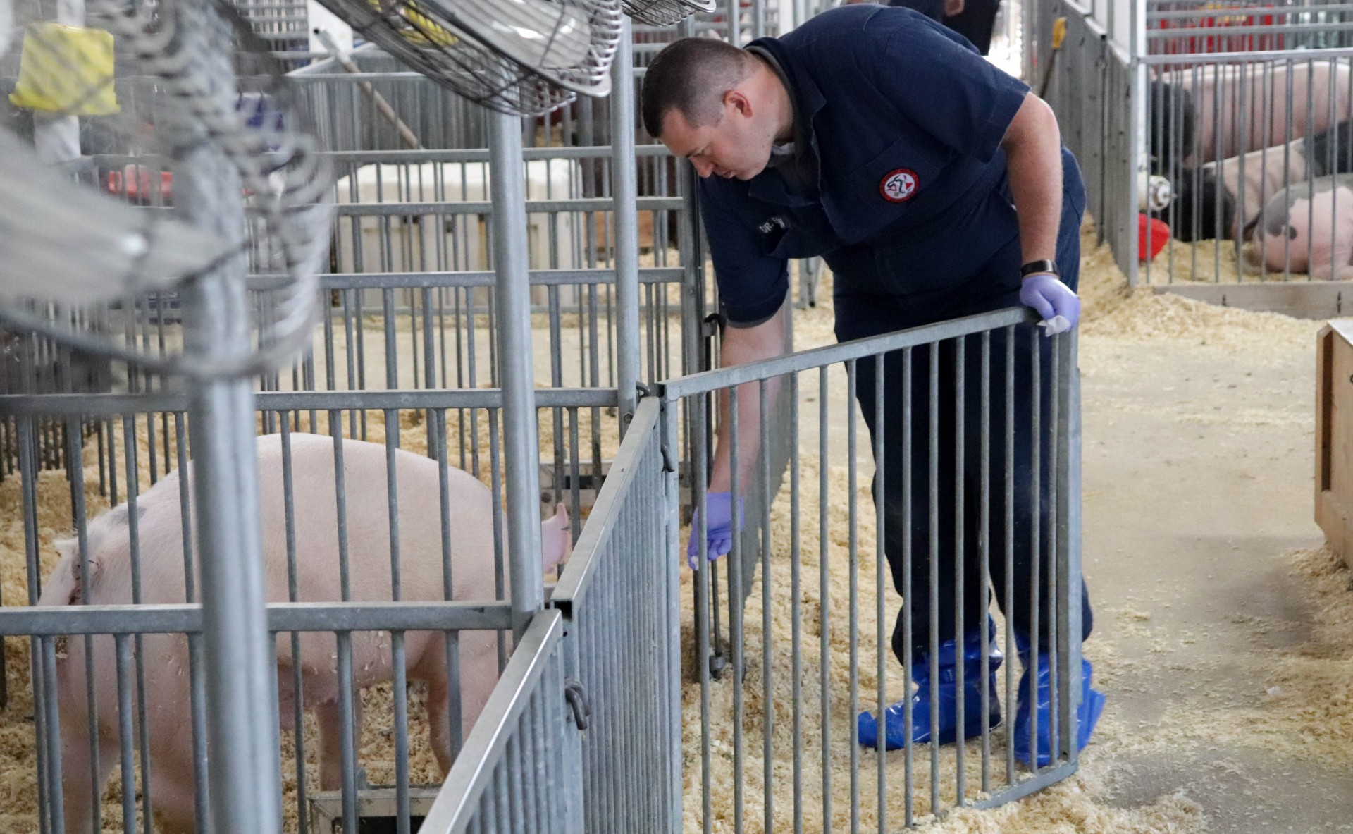 Veterinarian Andrew Bowman conducts flu surveillance at county fairs.