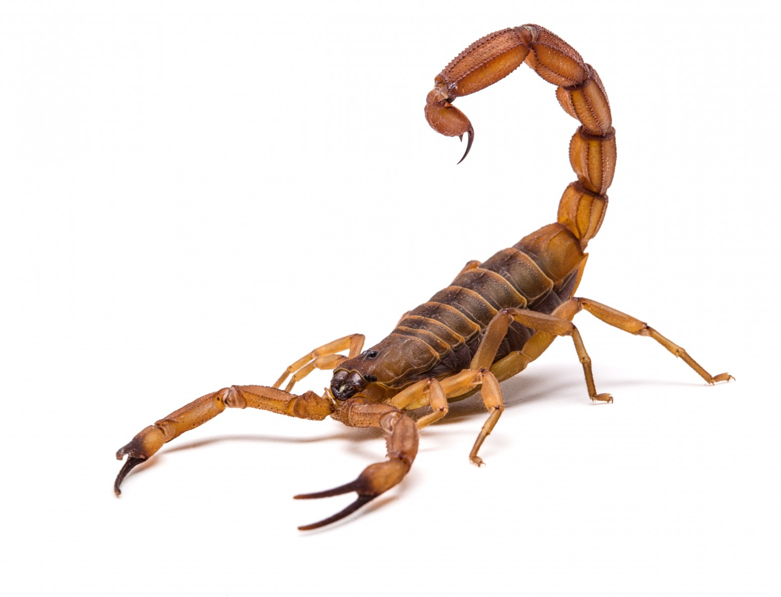 Scientists have discovered the oldest-known scorpion--likely one of the first animals to walk on land--in a fossil unearthed in Wisconsin.