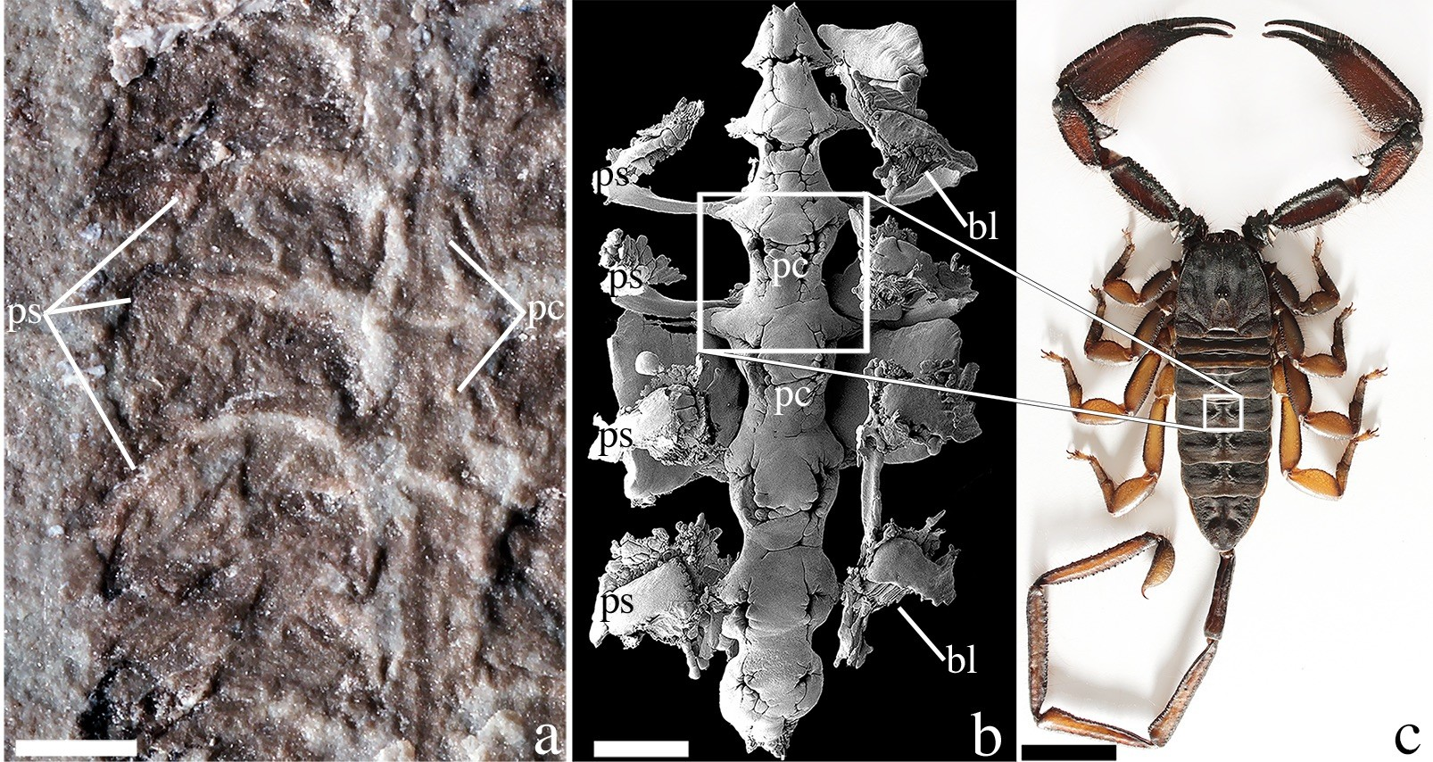 The fossil (left) was unearthed in Wisconsin in 1985. Scientists analyzed it and discovered the ancient animal's respiratory and circulatory organs (center) were near-identical to those of a modern-day scorpion (right). Images courtesy Andrew Wendruff