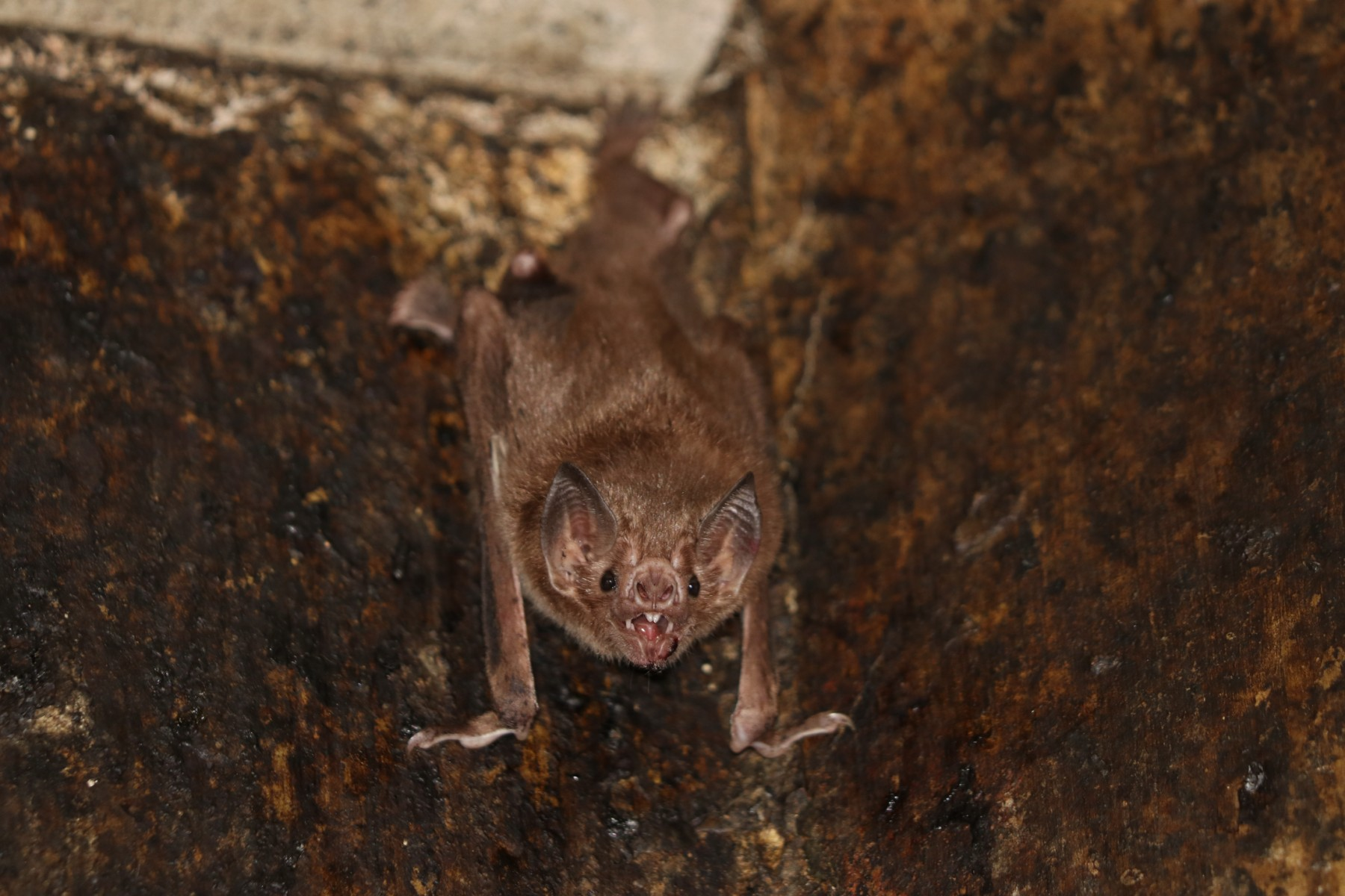 The common vampire bat