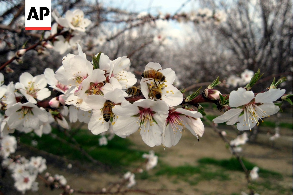 Honeybees pollinating California almond trees