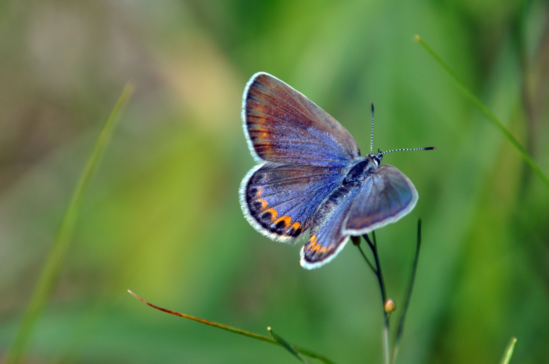 The endangered Karner blue butterfly (Lycaeidis melissa samuelis)