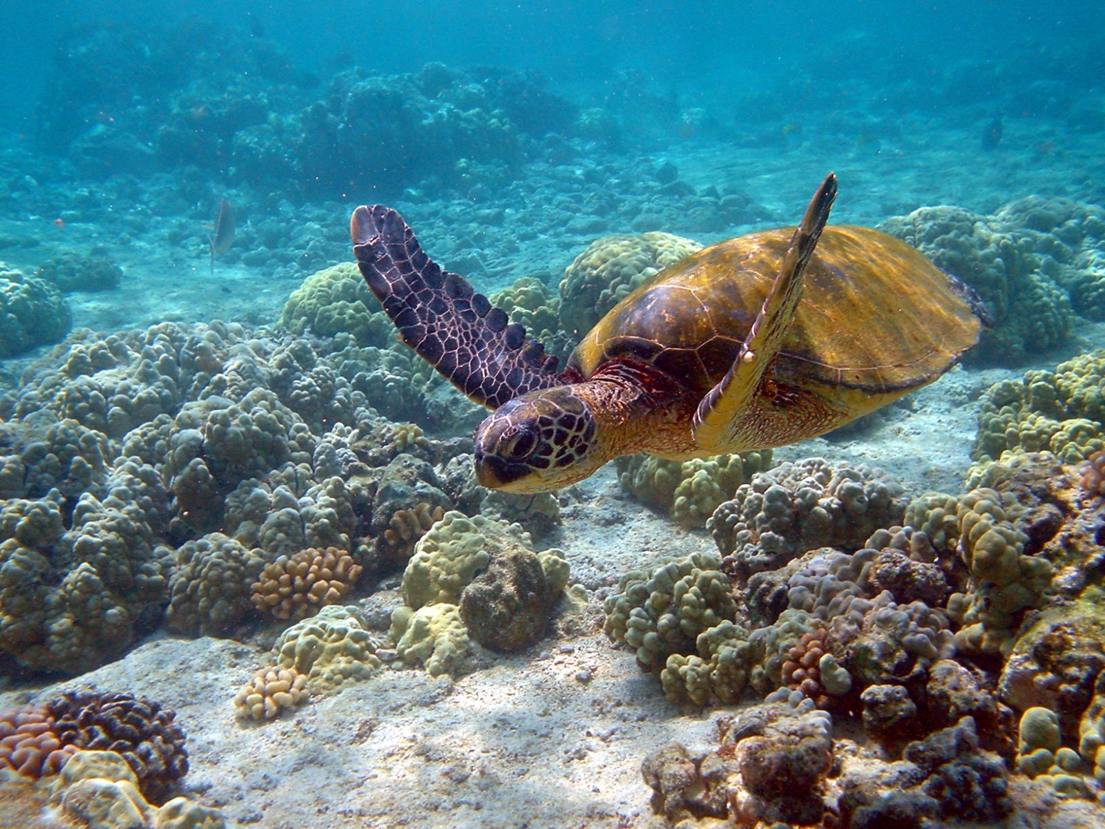 Green turtle, photographed in Hawaii