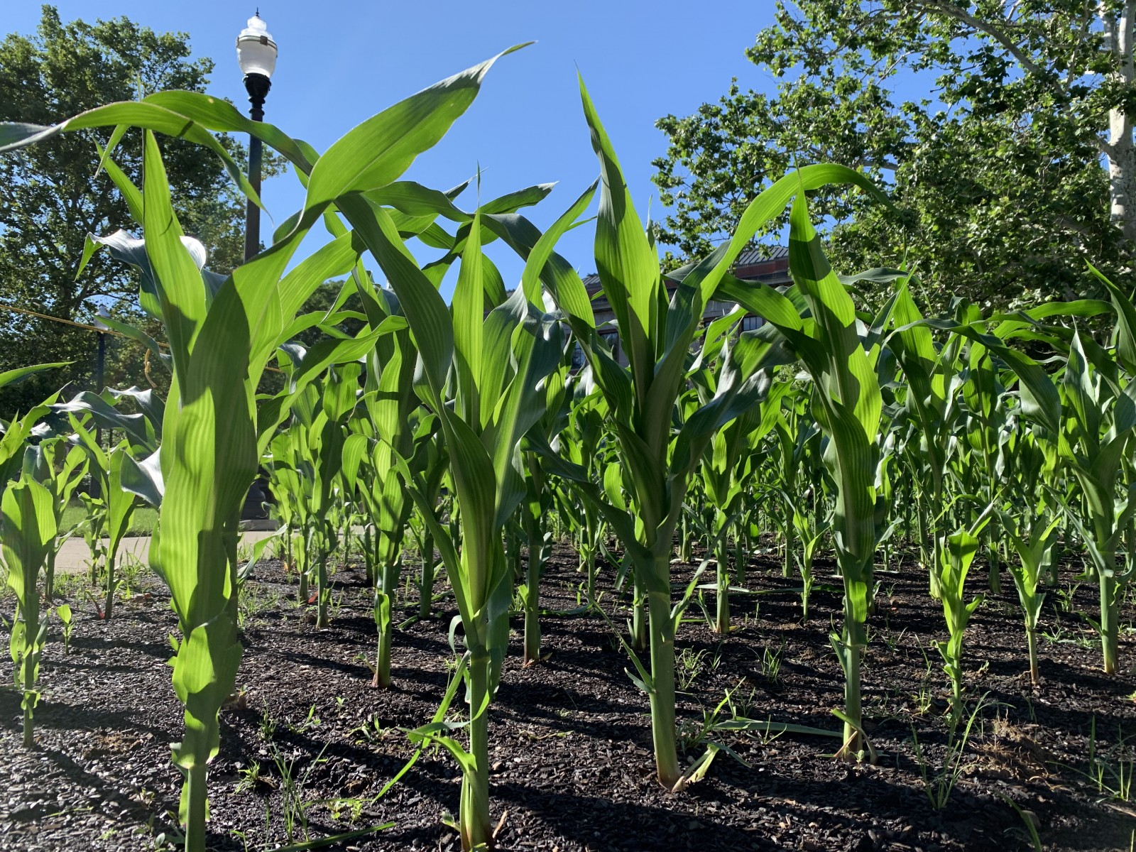 This plot of corn, part of a public research installation, popped up on campus in the spring.