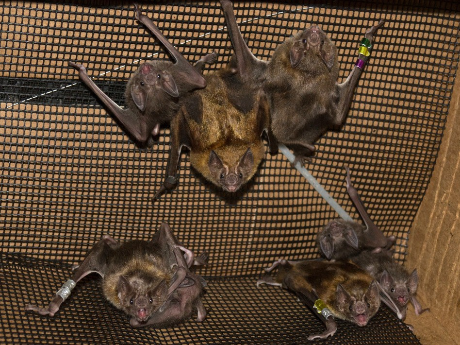 Vampire bats in the study cluster together in captivity