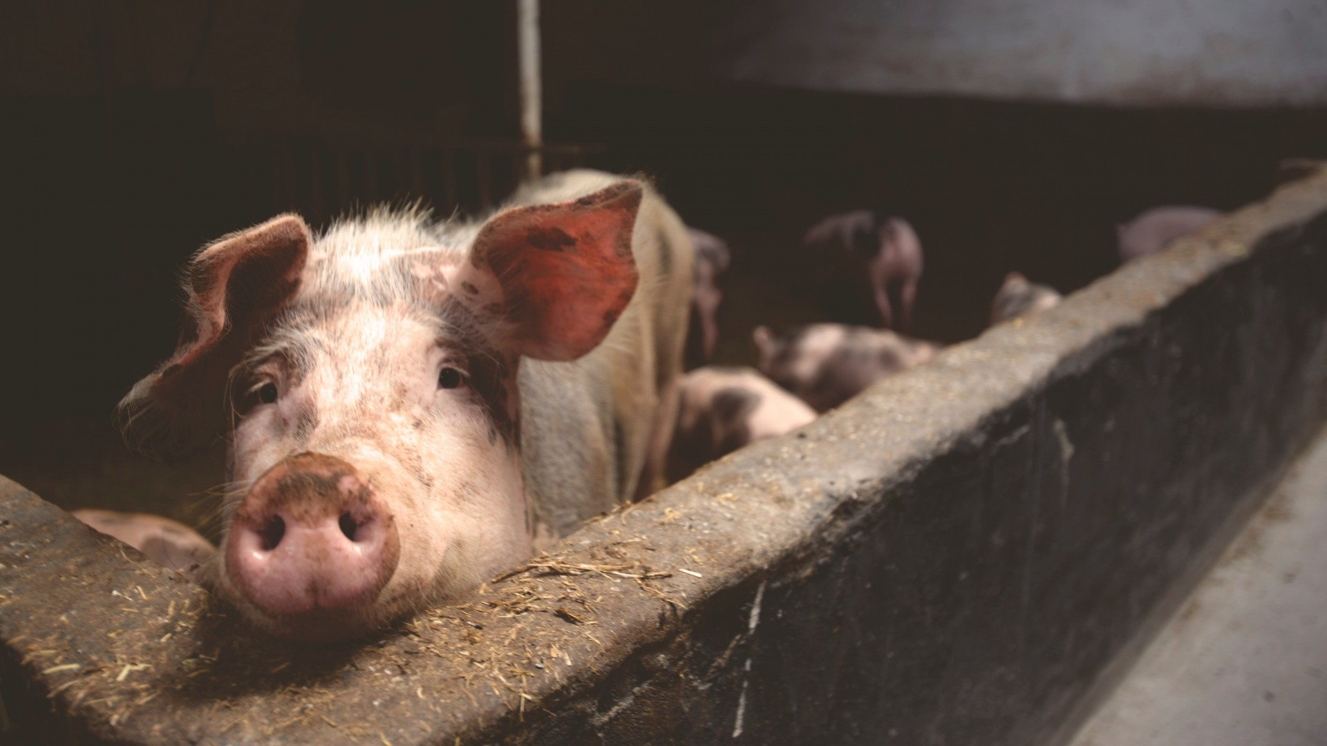 Swine viruses are sometimes deadly and can lead to significant economic losses for farmers.