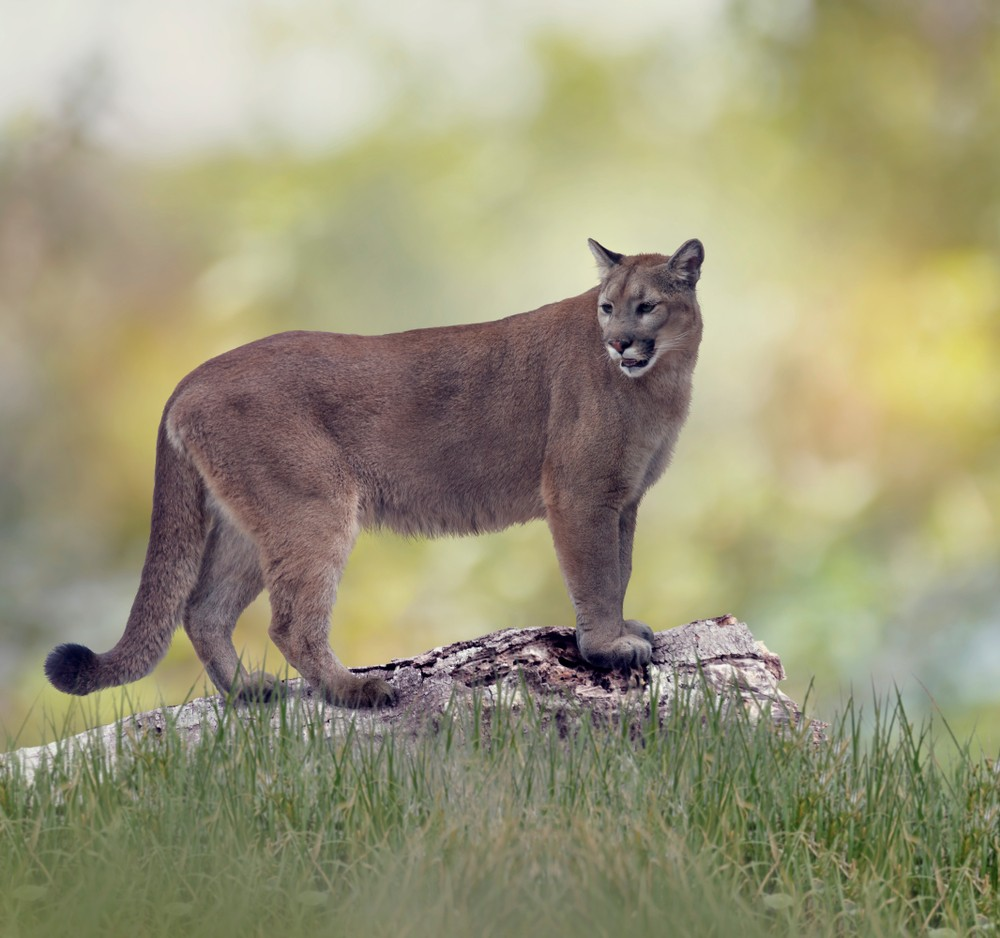 Ohio State research has uncovered the genetic details of the Florida panther conservation success story