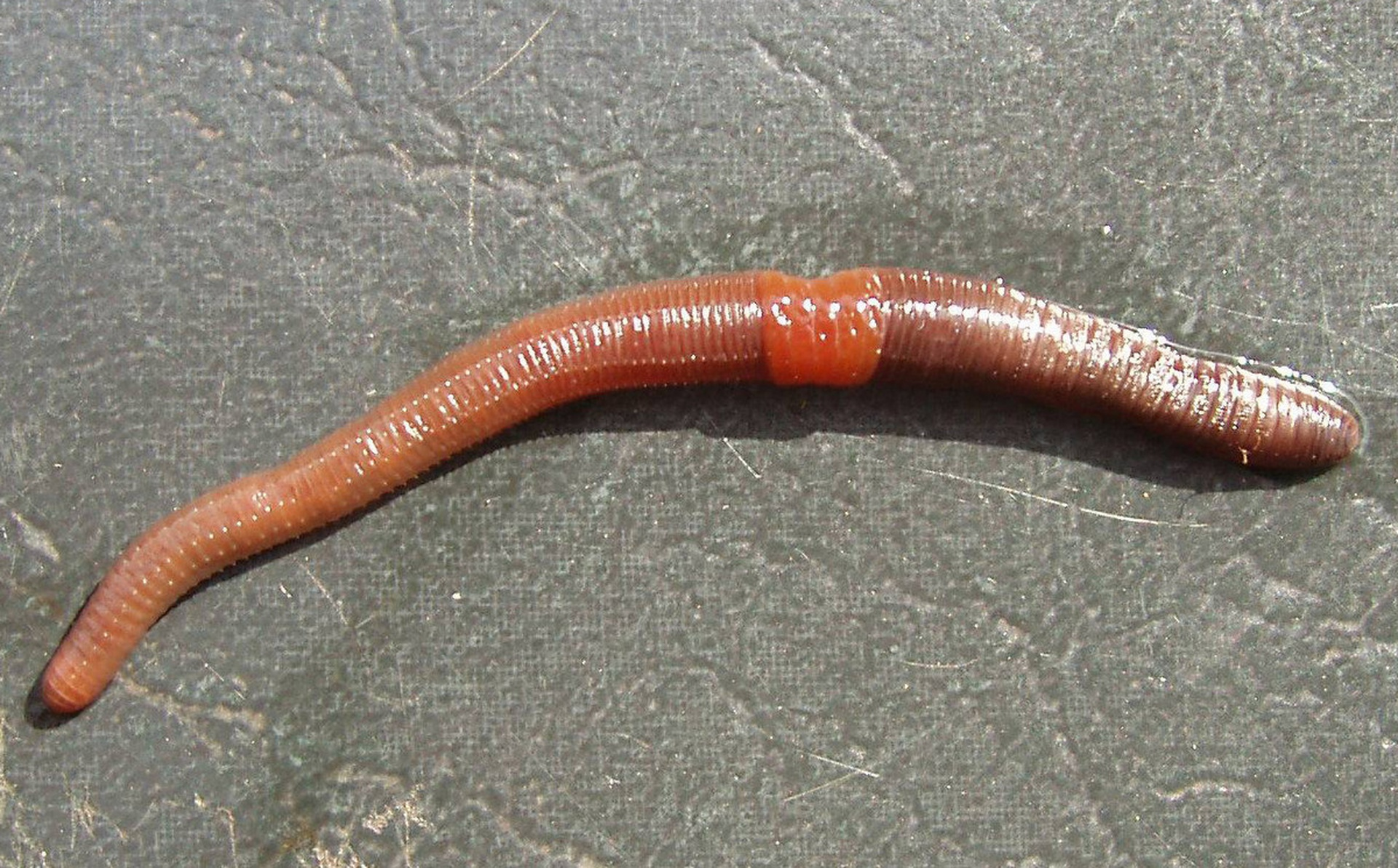 Invasion of the earthworms, mapped and analyzed