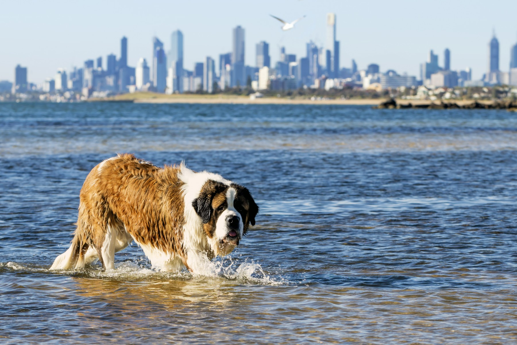 Dog swimming at beach in Melbourne, Australia