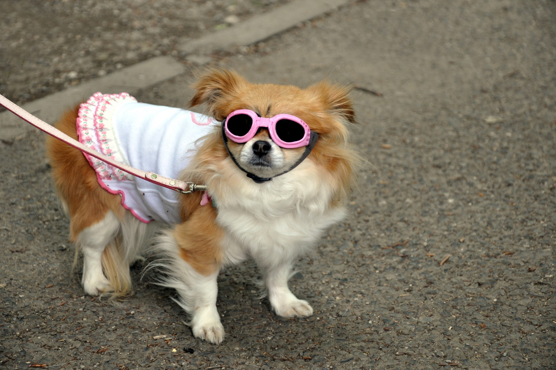 Dog with clothes and pink sunglasses, Tokyo, Japan