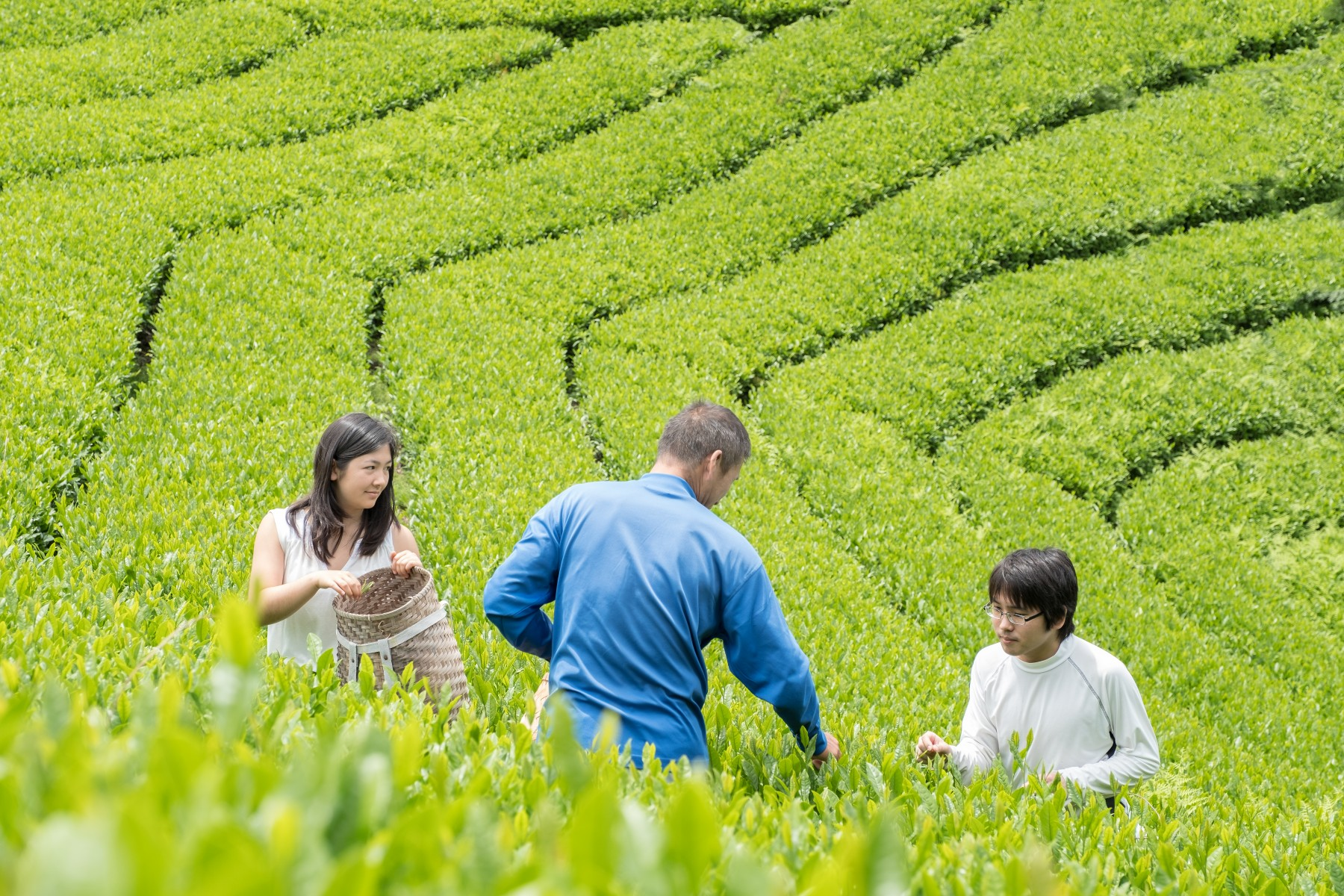 Organic farming and hand pick of tea leaves