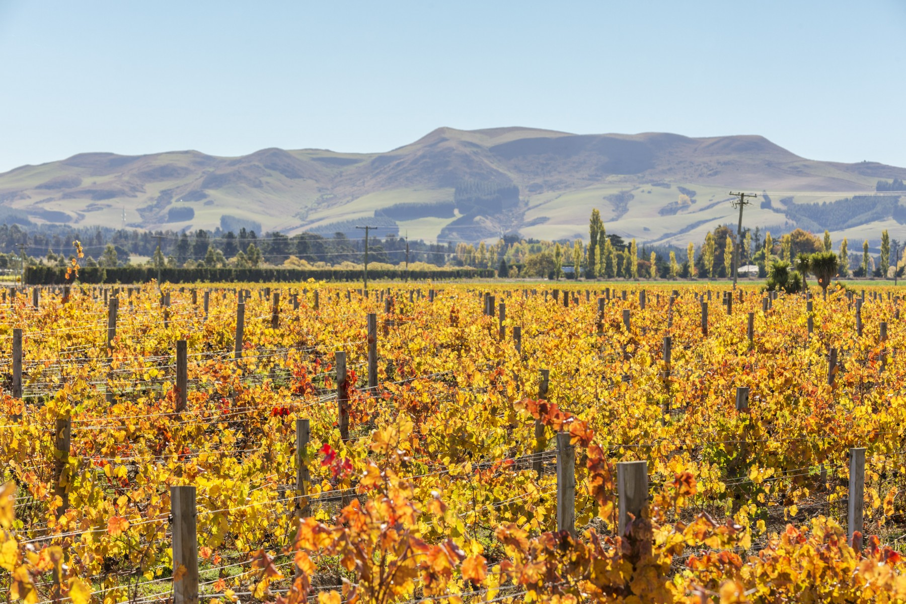 Vineyards, Waipara valley, North Canterbury, South Island, New Zealand